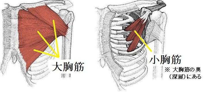大胸筋と小胸筋