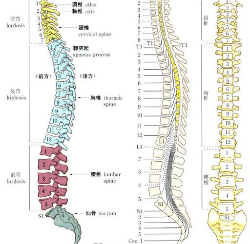 背骨の並び